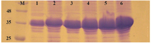 Figure 5. Comparison of <i>E. coli</i> BL21 (DE3), Rosatta-gami (DE3) and SHuffle T7 for production of reteplase in insoluble fraction of cell lysate. M: prestained molecular weight marker, SHuffle T7 2 <i>hr</i> (lane 1) and 4 <i>hr</i> (lane 2) after induction. Rosetta-gami (DE3) 2 <i>hr</i> (lane 3) and 4 <i>hr</i> (lane 4) after induction. BL21 (DE3) 2 <i>hr</i> (lane 5) and 4 <i>hr</i> (lane 6) after induction.