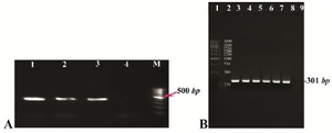 <p>Figure 1. A) Gel agarose visualization of PCR products amplified by internal primers after amplification of cDNA as template. M (DNA marker); 1-3 (interest fragment amplified in optimized Tm=58<em>&deg;C</em>); 4 (negative control, human genomic DNA); B) PCR amplification results of the PTZ57R-PR vector containing protease ORF (301 <em>bp</em>). Lanes 1 and 2 (DNA marker); lanes 3-6 (amplified by Taq DNA polymerase); lanes 7-8 (amplified by pfu DNA polymerase); lane 9 (negative control).</p>