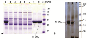 <p>Figure 2. A) SDS-PAGE analysis of recombinant fusion thioredoxin-PR protein on 12% polyacrylamide gel. Lane M: prestained protein molecular marker (Thermo Scientific Pierce Prestained Protein MW Marker); Lane 1: sonicated BL21 (DE3) crude cell lysate harboring recombinant plasmid after induction with IPTG; lanes 7 and 8: rPR protein purified by Ni2+-NTA resin column affinity chromatography; Lanes 2-6: <em>E. coli</em> BL21 (DE3) lysate without recombinant vector (negative control); B) Confirmation of the recombinant PR protein production by Western blot analysis with mouse anti-HIS tag antibody. Lane 1, purified recombinant PR; lane 2, cell lysate harboring recombinant plasmid after induction; lane 3, host cell without recombinant plasmid (negative control).</p>