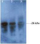 <p>Figure 3. Western blot analysis of the rPR protein (28 <em>kDa</em>) with HIV-infected serum. Lane 1, purified recombinant PR; lane 2, cell lysate of <em>E. coli</em> harboring recombinant plasmid Pet102-PR; lane 3, host cell without recombinant plasmid Pet102-PR.</p>
