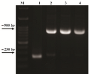 <p>Figure 3. PCR confirmation of the recombinant plasmids using T7 specific primers. Lane M: DNA size marker, lane 1: Intact pET15b plasmid as a negative control, lanes 2, 3, 4: Recombinant plasmids.</p>