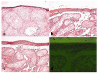 Figure 4. Histological examination of capsular thickness of mouse testes following busulfan treatment