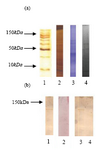 Figure 7. c-kit analysis in mouse testis