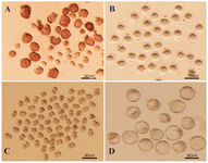 <p>Figure 1. A) Immature germinal vesicle (GV) oocytes isolated from 4-6 week-old mice 48 <em>hr</em> after injection with 5 <em>IU</em> pregnant mare serum gonadotropin (PMSG), enclosed with or without compact cumulus cells (Scale bar: 50 <em>μm</em>). B) GV oocytes at 24 <em>hr</em> of culture with distinct first polar body (Scale bar: 50 <em>μm</em>). C) Developed 2-cell and D) Blastocyst embryos obtained from fertilized GV oocytes cultured in potassium simplex optimization medium (KSOM) (Scale bar: 50 <em>μm</em>).</p>