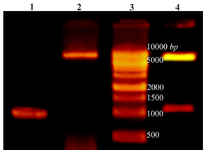 <p>Figure 1. Lane 1: PCR product of Cre gene, lane 2: pET28a-cre plasmid extraction result, lane 3: DNA ladder, lane 4: double digestion of recombinant pET28a-cre by NheI and XhoI. Products were electrophoresed on 0.7% agarose gel.</p>