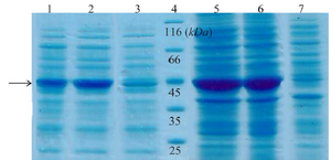 <p>Figure 2. SDS-PAGE analysis of recombinant creatinase expression. Lane 1 and 2 are soluble fractions of induced <em>BL21</em> (containing pET28a-cre) for 4 and 16 <em>hr</em> and 3 is soluble fraction of induced negative control. Lane 4 is the protein ladder. Lane 5 and 6 are crude extract of total protein of induced <em>BL21</em> (containing pET28a-cre), and lane 7 is the negative control.</p>