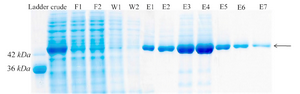 <p>Figure 4. Protein purification with Ni-NTA agarose resin. F1-F2: different fractions of flow-through, W1-W2: different fractions of wash, E1-E7: different fractions of elution.</p>