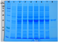 <p>Figure 2. SDS-PAGE analysis of the expression of r-PilQ<sub>380-706 </sub>protein in <em>E. coli</em>. The total proteins of the BL21harboring pET28a/<em> pilQ</em><sub>1138-2118</sub> plasmid was harvested and loaded on 12% (<em>v/v</em>) SDS-PAGE after 4 <em>hr</em> induction with or without IPTG. (lane M) denote molecular weight marker proteins; (lanes 1) total cell lysate of non-induced bacteria; (lanes 2-7) 1-6 <em>hr</em> incubation after induction; (lane 8) purified r-PilQ<sub>380-706 </sub>after HisTrap Chelating and Ni<sup>2+</sup>-affinity chromatography (~37 <em>kDa</em>).</p>