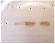 <p>Figure 3. Western blot analysis of the expressed r-PilQ<sub>380-706 </sub>protein in <em>E. coli</em> BL21. After running the SDS-PAGE, the protein transferred onto PVDF membrane and detected with HRP-conjugated goat anti-rabbit IgG. (lane 1) total cell lysate of non-induced bacteria; (lane 2) total cell lysate of bacteria after 4 <em>hr</em> induction; (lane 3 and 4) purified r-PilQ<sub>380-706 </sub>by Ni<sup>2+</sup>-affinity chromatography.</p>