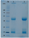 <p>Figure 4. Coomassie blue-stained SDS-PAGE gel of affinity-purified antibodies. (lane M) molecular mass markers, in <em>kDa</em>; (lane 1) 10 <em>mM</em> glycine eluant; (lane 2) flowthrough from 100 <em>mM</em> glycine. Light chain (LC) and Heavy chain (HC) polypeptides were predicted to be 24.9 and 51.4 <em>kDa</em>, respectively.</p>