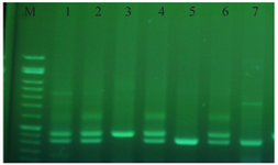 <p>Figure 2. Gel electrophoresis stained with green viewer.</p>