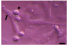 <p>Figure 1. Sertoli cell (arrow) and spermatogonia (arrow head) of sheep. Scale bars represent 15 <em>&mu;m</em>.</p>