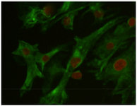 <p>Figure 3. Vimentin was detected in the feeder monolayer cells (Vi-mentin-specific monoclonal antibodies). Nuclei were counterstained with 7AAD, (&times;40).</p>