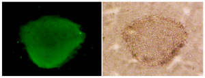 <p>Figure 5. Oct- 4 immunocytochemical staining of sheep spermato-gonial stem cells (&times;40).</p>