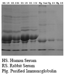 Figure 2. SDS-PAGE of whole rabbit serum in comparison with purified immunoglobulin