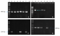 <p>Figure 1. PCR products of <em>intl1</em> (A), <em>intl2</em> (B), <em>ant(2'')-Ia</em> (C), and <em>aac(6')-IIa</em> (D) on agarose gel electrophoresis visualized under UV light. Lane 1 shows DNA Marker; lane 2 shows positive control; lane 3-7 show PCR products of the amplicon amplified from <em>K. pneumonia</em> isolates; and lane 8 shows negative control of attributed genes.</p>