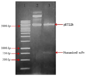 <p>Figure 1. Restriction enzymes digest recombinant plasmid pET22b (+)-huscFv. Lane 1: DNA weight marker. Lane 2: undigested constructs of pET22b-huscFv plasmid by MlsI (MscI) and XhoI restriction enzymes. Lane 3: pET22b-huscFv plasmid after MlsI (MscI) and XhoI double digestion.</p>