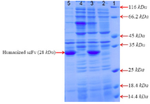 <p>Figure 2. SDS–PAGE analysis of anti-CD20 huscFv recombinant protein expression after induction with 1 <em>Mm</em> IPTG for 4, 24 <em>hr</em> at 25<em>°C</em>. Lane 1: the standard protein weight marker. Lane 2, 4: cell lysate supernatant for 4, 24 <em>hr</em>, respectively. Lane 3, 5: insoluble pellet for 4, 24 <em>hr</em>, respectively.</p>