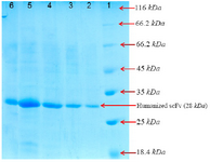 <p>Figure 4. SDS-PAGE analysis of the purified recombinant huscFv in BL21 (DE3) after gel filtration chromatography and washing with buffer A (5 <em>mM</em> and 20 <em>mM</em> of imidazole).</p>