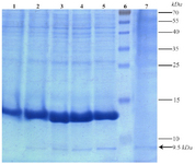 <p>Figure 4. Expression and secretion analysis of the present recombinant TPD protein in cell pellet and culture medium samples by 15% acrylamide gel. Lane 1: Expression before induction. Lanes 2 to 5: Gradual increase of expression respectively from 1 to 4 hr after induction. Lane 6: Prestained Protein Ladder (Thermo, USA). Lane 7: Secretion of the recombinant protein in the medium 4 hr after induction. Position of the recombinant tag-fused TPD protein is shown with an arrow.</p>