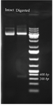 <p>Figure 2. Restriction enzyme digestion of intact pET28 plasmid and  recombinant plasmid which released the cloned BMP-2 insert. The plasmid DNA is analyzed by 1% agarose gel an 1 <em>kb</em> DNA ladder was used as a DNA size marker.</p>