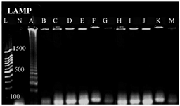 <p>Figure 3. Specificity analysis based on genus-specific primer for <em>E. coli</em>, A) <em>Escherichia coli, </em>B) <em>Shigella sp</em><em>p</em>., C) <em>Acinetobacter spp., </em>D)<em> Staphylococcus aureus</em><em>, </em>E) <em>Proteus mirabilis</em><em>, </em>F) <em>Entrococcus faecalis</em>, G) S<em>treptococcus epidermidis</em>, H)<em> Streptococcus pyogenes</em>, I)<em> Kelebsiella pneumonia</em><em>,</em> J:<em> Pseudumonas p2</em><em>,</em> K:<em> Salmonella typhimurium</em>, M: S<em>taphylococcus saprophiticus</em>. L) 100 <em>bp</em> DNA Ladder, N) negative control.</p>