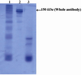 Figure 1. Electrophoretic pattern of R-PE conjugated ShM Ig by SMCC linker in non-reduced 12.5% SDS-PAGE: Lane 1 shows R-PE conjugated ShM Ig. Lane 2 shows unconjugated ShM Ig.  Lane 3 shows R-PE alone