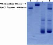 Figure 2. Electrophoretic pattern of R-PE conjugated F(ab')2 fragment of ShM Ig by SMCC linker in non-reduced 12.5% SDS-PAGE. Lane 1 shows F(ab')2 fragment of ShM Ig  (100 kDa). Lane 2 shows IgG molecule (150 kDa) as protein marker. Lane 3 shows R-PE alone. Lane 4 shows R-PE conjugated F(ab')2 fragment of ShM Ig