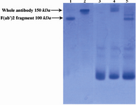 Figure 3. Electrophoretic pattern of R-PE conjugated ShM Ig and F(ab')2 fragment of ShM Ig by SPDP linker in non-reduced 12.5% SDS-PAGE.  Lane1 shows unconjugated F(ab')2 fragment of ShM Ig. Lane 2 shows unconjugated ShM Ig. Lane 3 shows R-PE alone. Lane 4 shows R-PE conjugated ShM Ig. Lane 5 shows R-PE conjugated F(ab')2 fragment of ShM Ig