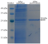 <p>Figure 5. SDS-PAGE analysis of the expressed and purified tandem bivalent anti-VEGF<sub>165 </sub>nanobody showed a band at 30 <em>kDa.</em></p>