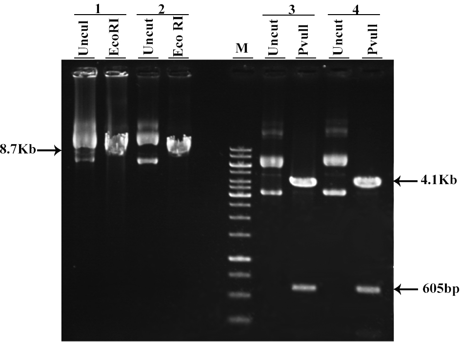 producing a mammalian gfp expression vector containing neomycin resistance gene