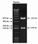 Figure 2. Screening of recombinant clones containing GRA5 gene. GRA5 PCR product was inserted into pcDNA3.1 plasmid and the recombinant plasmid, pGRA5, was transformed into DH5α bacteria. Screening of recombinant clones was performed by PstI restriction digestion. Digestion of recombinant plasmid harboring GRA5 gene resulted in two DNA fragments of 4243 and 1626 bp