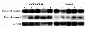 Figure 6. Effects of bryostatin-1 (Lane 2), 1α,25(OH)2D3 (Lane 3), and 4-HPR (Lane 4) on activation of caspase-3 (cleaved form) in CCRF-CEM and Nalm-6 cell lines 24 hr post treatment. C: negative control; Lane 1: positive con-trol representing ALL cells treated with Staurosporine. 