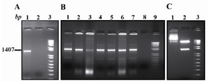 Figure 1. PCR amplification and cloning. A) Ror1-ECD PCR amplification (Lane 1). B) Colony PCR screening for identifying the recombinant clones (Lanes 1-7). C) Lane 1 is undigested and Lane 2 is KpnI/XbaI double di-gestion of a representative recombinant clone. The mar-ker is a1 kb plus DNA ladder
