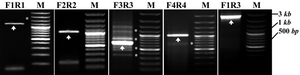 Figure 3. PCR steps for constructing different PPARγ1 promoter region. PCR-product bands: the molecular size marker [100 bp; Fermentas] (M) and four fragments of PPARγ1 promoter region; F1R1 (1190 bp), F2R2 (1040 bp), F3R3 (671 bp) and F4R4 (1032 bp) are indicated by arrow heads. Stars indicate nonspecific bands
