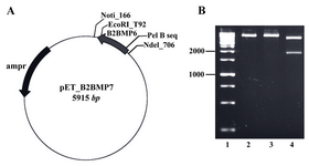Figure 2. A) The map of recombinant plasmid (pET_ B2BMP7). The size of expression construct was 5915 bp, B) Restriction analysis of recombinant plasmid. Lane 1: Size marker; lanes 2, 3: Digestion of pET_B2BMP7 with NotI or EcoRV created linear plasmids (5915 kb); lane 4:  Digestion of recombinant plasmid with NotI/EcoRV created two fragments with expected sizes at 4095 bp and 1820 bp